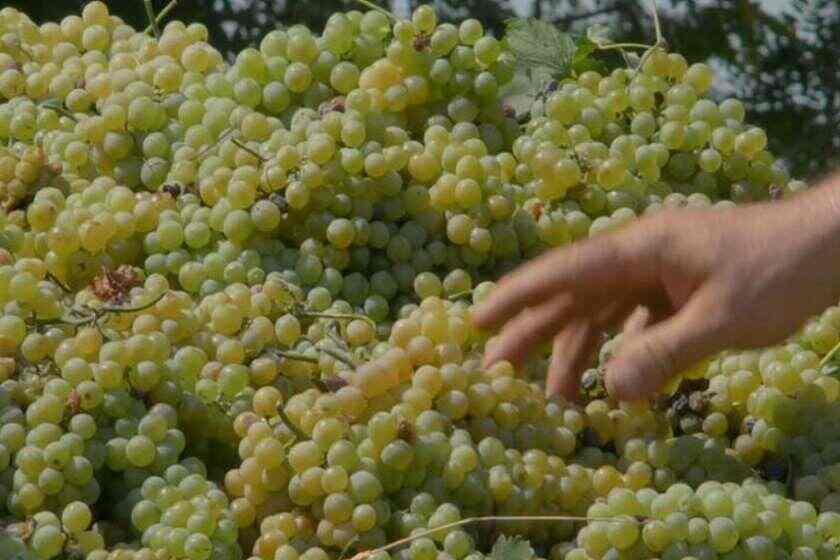 დღეისათვის  კახეთში 100 000 ტონამდე ყურძენია გადამუშავებული
